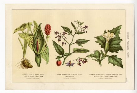 1898 Antique Print BOTANICAL Poisonous NIGHTSHADE Arum DEVILS APPLE Plants Flowers POISON
